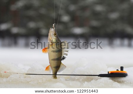 freshwater perch fish  on the ice fishing first in new year