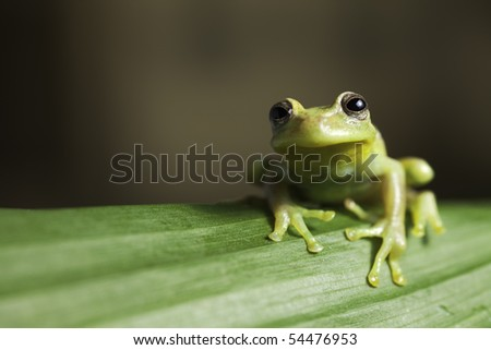 frog amphibian treefrog rainforest branch tropical amazon jungle species background with copy space