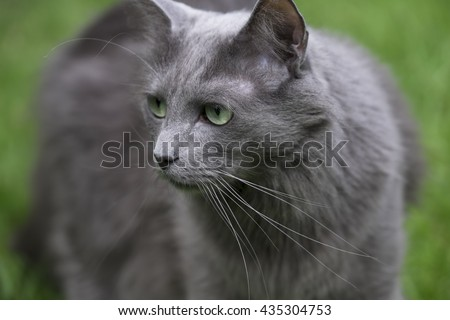 Front of a rare Nebelung cat with green eyes staring to the right, on green background. Focus on nose and whiskers
