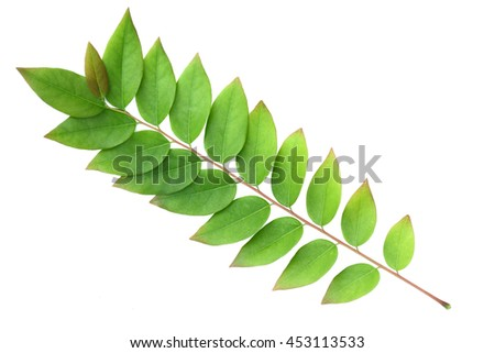 Front  star gooseberry leaf isolated on a white background