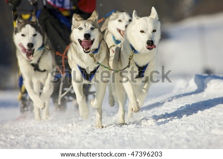 front view at four  alaskan malamute at race in winter