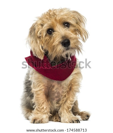 Front view of a Lucas terrier sitting, wearing a scarf, isolated on white