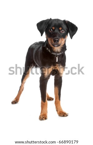 Front view of mixed breed puppy standing and looking at camera, isolated on a white background