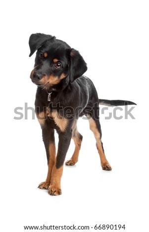 Front view of mixed breed puppy standing, isolated on a white background