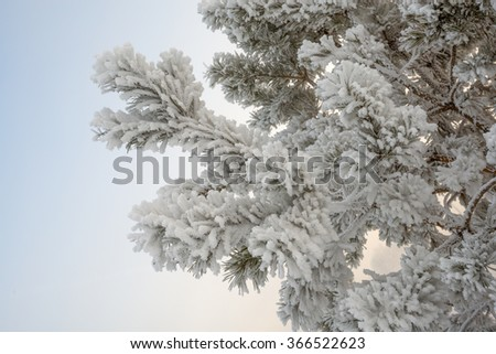 frost on pine branch