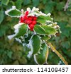 Frosty holly - stock photo