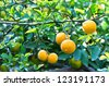Fruits of wild lemon on a branch (Citrus trifoliata) - stock photo