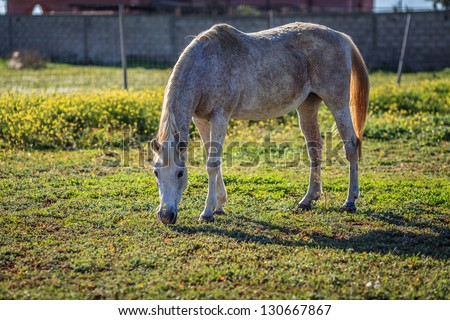 Full scale picture of horse eating grass