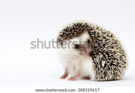 fun and comic african pygmy hedgehog baby half masked in white background