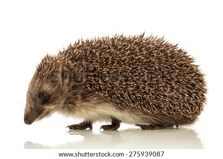 Funny cute Hedgehog isolated on white background