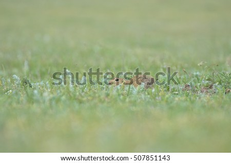 Funny gopher hiding in the grass
