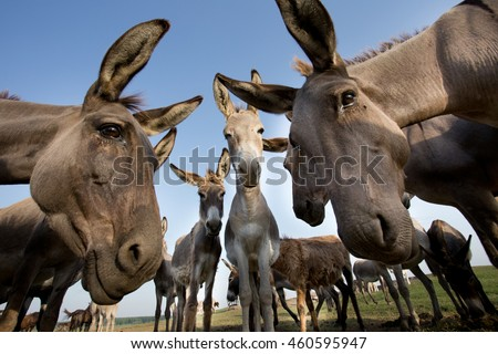 Funny image of group of curious donkeys staring in camera shooting with wide angle lens