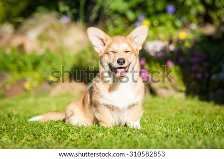 Funny pembroke welsh corgi puppy with closed eyes