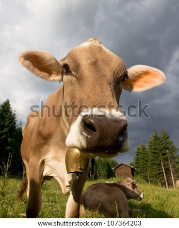 Funny portrait of Cow on a meadow
