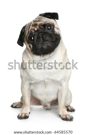 Funny pug puppy sitting on a white background