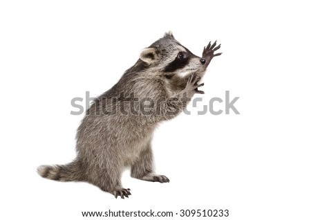 Funny raccoon standing on his hind legs isolated on a white background