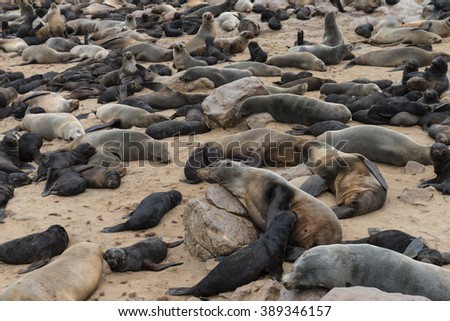 Fur Seal colony at Cape Cross in Namibia