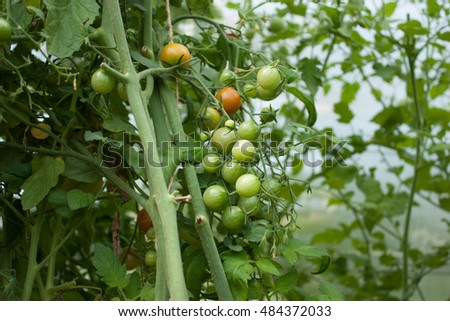garden fresh tomatoes on a branch