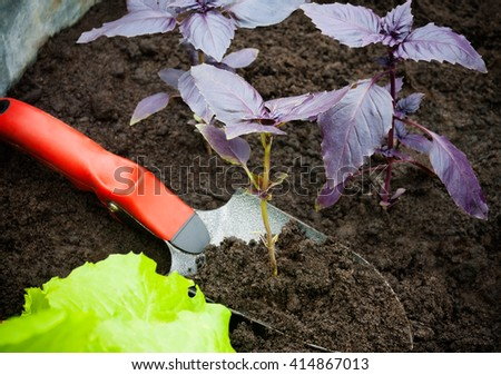 Garden shovel with purple basil. Selective focus