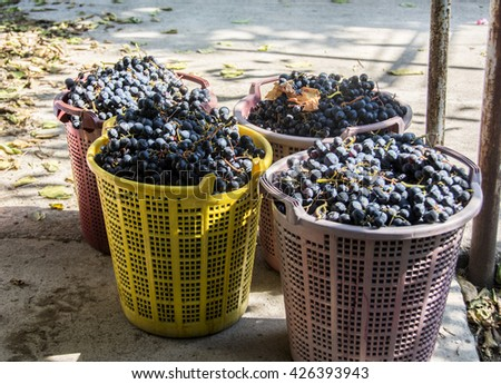 gathered the grapes, and make wine