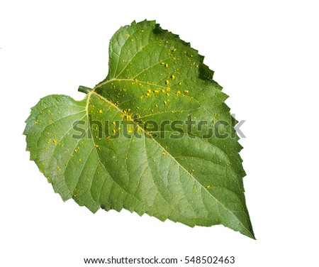 Gaysorn sunflower leaves, on white background