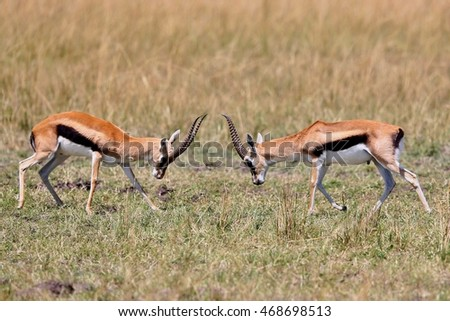 Gazelle male fight in their dry nature habitat, wild africa, this is africa, bush in Masai Mara in Kenya, duel between two males