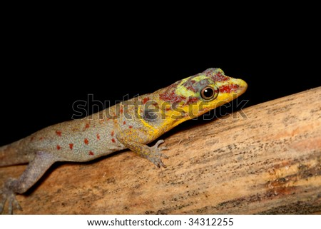 gecko with color head Gonatodes humerales lizard in Brazil amazon rain forest beautiful animal bright colors exotic tropical reptile at night on branch