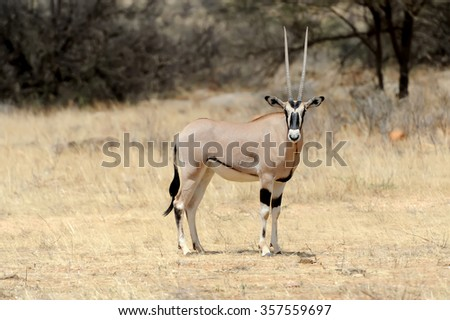 Gemsbok antelope (Oryx gazella) in national Park of Kenya, Africa