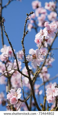 gentle pink spring blossoms against bright blue sky, sunny day