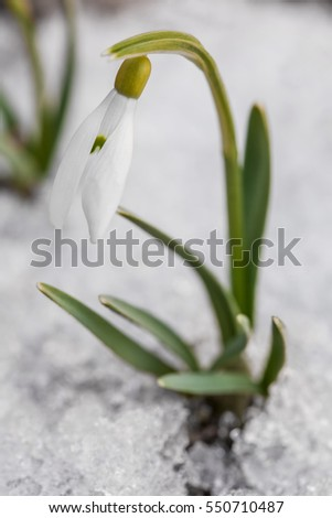 Gentle snowdrop flowering from snow. Galanthus nivalis, first spring flowers, snowdrops growing in garden