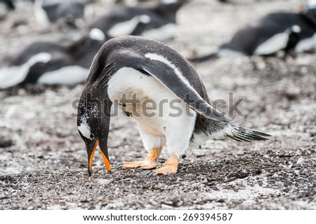 Gentoo penguin portrait in the group of many penguins