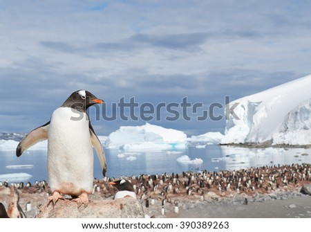Gentoo penguin, standing on the stone, looking at the colony, icebergs in background, sunny day, Antarctic Peninsula