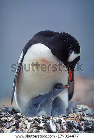 Gentoo penguin with chick on the nest in Antarctica