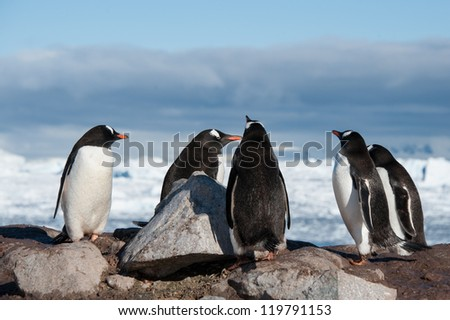 Gentoo penguins colony in Paradise bay, Antarctica
