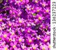 Geranium in the garden - stock photo