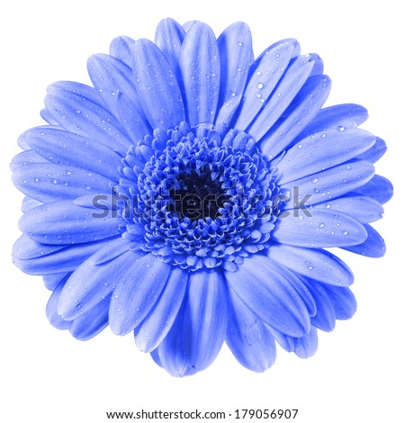 Gerbera flower with water drop isolated on white background