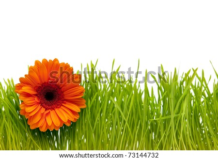 gerbera in the grass on a white background
