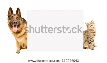 German Shepherd and cat Scottish Straight peeking from behind a poster