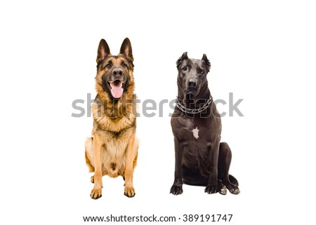 German Shepherd and Staffordshire terrier sitting together, isolated on white background