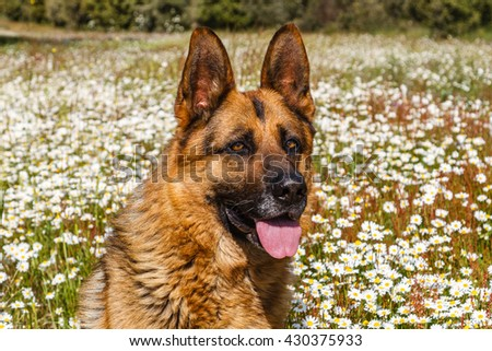 German Shepherd Dog head among the daisies.
