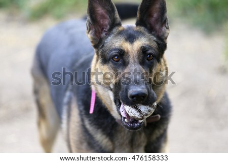 German Shepherd dog holding a baseball in its mouth.