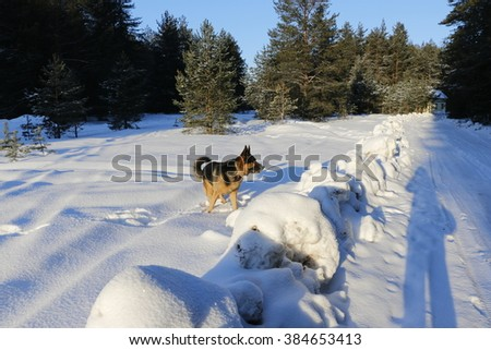 German shepherd dog on the snow in winter day