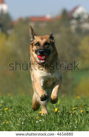 German shepherd dog running fast