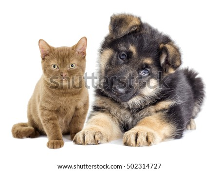 German Shepherd puppy and kitten looking