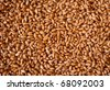 Germinated wheat grains as background - stock photo