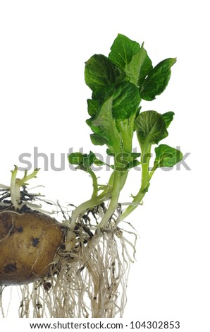 germinating potato on white background