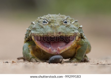 Giant African Bullfrog (Pyxicephalus adspersus) with mouth open, South Africa