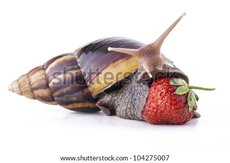 Giant african land snail eating - photo#55