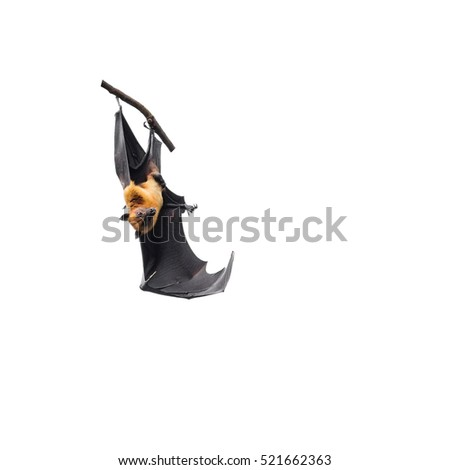 giant fruit bats hanging on branch isolated on white background