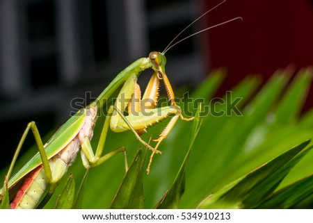Giant Malaysian shield praying mantis (Rhombodera Basalis) resting on a tree